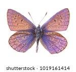 female common blue butterfly ... | Shutterstock . vector #1019161414