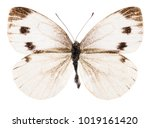 Stock photo small white pieris rapae butterfly isolated on pure white background 1019161420