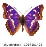 Purple Emperor Butterfly ...
