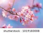 Close Up Cherry Blossom....