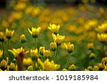 chrysanthemum flower field in... | Shutterstock . vector #1019185984