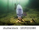 freshwater fish carp  cyprinus... | Shutterstock . vector #1019231080