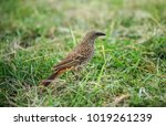 the rufous tailed weaver is a... | Shutterstock . vector #1019261239