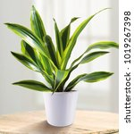 dracaena fragrans is a small to ... | Shutterstock . vector #1019267398