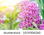 orchid flower in garden at... | Shutterstock . vector #1019306260