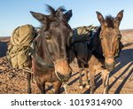 Small photo of two mules packed
