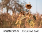 Withered Sunflowers Ripened Dr...