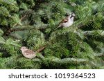 sparrows in a fir tree. the... | Shutterstock . vector #1019364523