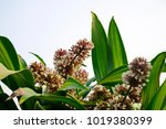 Dracaena Fragrans Is A Small T...