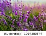 beautiful violet lavender... | Shutterstock . vector #1019380549