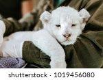 Sleepy White Lion Cub