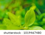 close up green leaf natural in... | Shutterstock . vector #1019467480