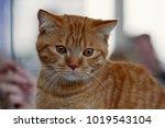 Stock photo funny tabby red kitten ginger red kitten on window short haired red kitten cute nose sweet 1019543104