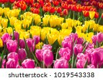 colorful tulips in the flower...