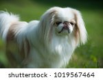 rare brown japanese chin or... | Shutterstock . vector #1019567464
