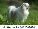rare brown japanese chin or... | Shutterstock . vector #1019567470