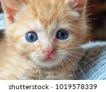 Stock photo an orange tabby kitten plays in a blue towel sometimes peeking out close up 1019578339