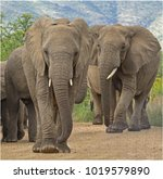 Small photo of African elephants marching