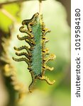 Small photo of Sawfly, Caterpillar, Animalia