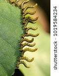 Small photo of Sawfly, Caterpillar, Animalia