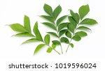 green leaves on white... | Shutterstock . vector #1019596024