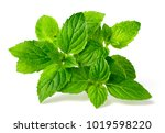fresh peppermint isolated on... | Shutterstock . vector #1019598220