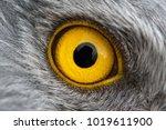 eagle eye close up  macro photo ... | Shutterstock . vector #1019611900