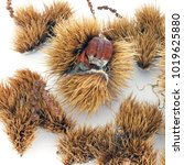chestnuts on a white background | Shutterstock . vector #1019625880