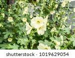 flowers mallow. flowering... | Shutterstock . vector #1019629054