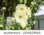 flowers mallow. flowering... | Shutterstock . vector #1019629060