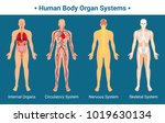 human body internal organs... | Shutterstock .eps vector #1019630134