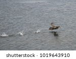southern giant petrel ... | Shutterstock . vector #1019643910