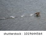 southern giant petrel ... | Shutterstock . vector #1019644564