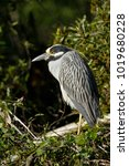 a yellow crowned night heron... | Shutterstock . vector #1019680228