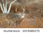 a white tailed deer standing in ... | Shutterstock . vector #1019680270