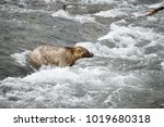 a brown or grizzly bear in the... | Shutterstock . vector #1019680318