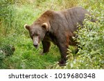 a brown or grizzly bear in the... | Shutterstock . vector #1019680348
