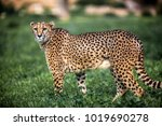 Beautiful Wild Cheetah Walking...