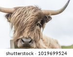 highland cow with wind...