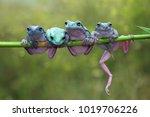 Tree Frog  Dumpy Frog On Branch