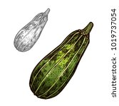 zucchini vegetable isolated... | Shutterstock .eps vector #1019737054