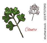 coriander or cilantro plant... | Shutterstock .eps vector #1019737093
