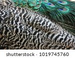 peacock green and blue plumage...   Shutterstock . vector #1019745760