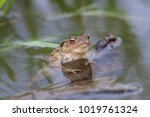 Common Toads  Bufo Bufo