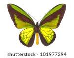 Ornithoptera Goliath  Birdwing...