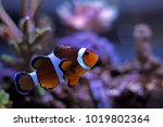 mr. clownfish   the most... | Shutterstock . vector #1019802364