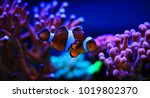 mr. clownfish   the most... | Shutterstock . vector #1019802370