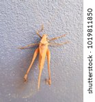 Brown Grasshopper Isolated On...