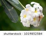 close up shot of frangipani...   Shutterstock . vector #1019852584