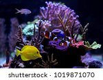 saltwater fishes in coral reef... | Shutterstock . vector #1019871070